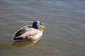 Swimming duck Royalty Free Stock Photo
