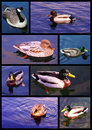 Swimming ducks collection photo collage of with blue sky reflection Royalty Free Stock Photos