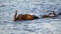 Swimming elephants in Chobe River Royalty Free Stock Photo