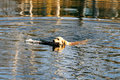 Swimming Golden retriever Stock Photos