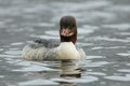 Swimming goosander this female waterbird belongs to the ducks Royalty Free Stock Photos