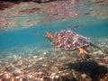 Swimming Hawaiian Sea Turtle Honu Royalty Free Stock Photography