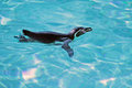 Swimming humboldt penguin in water in sunny day Stock Images