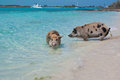 Swimming island pigs wild on big majors in the bahamas lounging and walking around in the sand and ocean in the clear blue water Royalty Free Stock Photo