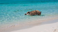 Swimming island pigs wild on big majors in the bahamas lounging and walking around in the sand and ocean in the clear blue water Royalty Free Stock Images