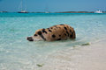 Swimming island pigs wild on big majors in the bahamas lounging and walking around in the sand and ocean in the clear blue water Stock Photos