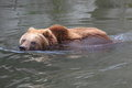 Swimming kamchatka brown bear Royalty Free Stock Image