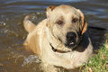 Swimming labrador happy in a lake Stock Image