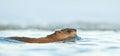 Swimming Muskrat ( Ondatra zibethica )