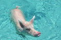Swimming pig famous pigs of exuma bahamas Stock Image