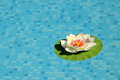 Swimming pool with lotus flower Royalty Free Stock Photos