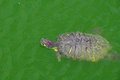 Swimming red eared slider turtle in a pond reptile animal in natural environment Stock Photos
