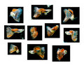 Swimming red guppy, tropical fish pet Stock Photos