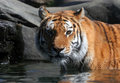 Swimming Siberian Tiger Stock Photos