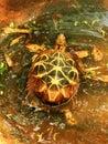 Swimming star tortoise Royalty Free Stock Photo