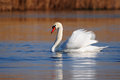 Swimming Swan Stock Images