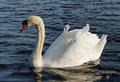 Swimming swan. Royalty Free Stock Photo