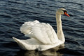 Swimming swan. Stock Photo
