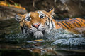 Swimming Tiger Royalty Free Stock Image