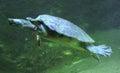 Swimming tortoise Royalty Free Stock Photo