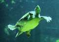 Swimming tortoise Royalty Free Stock Photo
