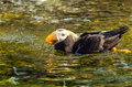 Swimming tufted puffin a in water Stock Images