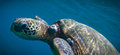 Swimming turtle close up of underwater Royalty Free Stock Photography