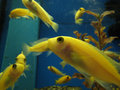 Swimming yellow fish Royalty Free Stock Image
