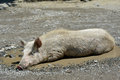 Swine in puddle has a good time this picture is characteristic for svaneti streets georgia Royalty Free Stock Image