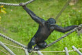 Swinging ape Royalty Free Stock Photo