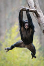 Swinging chimp ii young chimpanzee from a tree branch Royalty Free Stock Photography