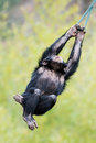 Swinging chimp iii young chimpanzee from tree branch Royalty Free Stock Images