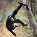 Swinging chimp viii young chimpanzee on a tree branch Royalty Free Stock Images