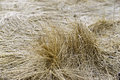 Swirling layers of dried grass in the wintertime Royalty Free Stock Image