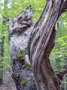 Swirling Old Tree Trunk