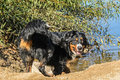 Swiss bernese mountain dog bernese sennenhund playing in the w water countryside Stock Image