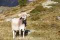 Swiss brown cow in the mountains portrait of a schweizer braunvieh bos primigenius taurus on a field high alps with green grass Royalty Free Stock Photo