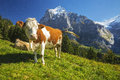 Swiss Cow Royalty Free Stock Photo