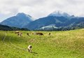 Swiss cows at switzerland mountains Royalty Free Stock Image