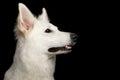 Swiss Shepherd dog on Isolated Black Background Royalty Free Stock Photo