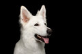 Swiss Shepherd dog on Isolated Black Background Royalty Free Stock Photo