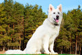 Swiss Shepherd dog sitting over forest Royalty Free Stock Photo