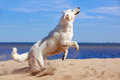 Swiss shepherd dog white on beach Royalty Free Stock Photography