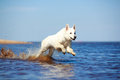 Swiss shepherd dog white n beach Stock Photography