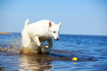 Swiss shepherd dog white n beach Stock Photo