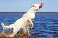 Swiss shepherd dog white n beach Royalty Free Stock Photography