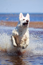 Swiss shepherd dog white n beach Stock Photos