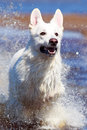Swiss shepherd dog white n beach Stock Image