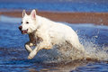 Swiss shepherd dog white n beach Royalty Free Stock Image