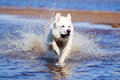 Swiss shepherd dog white n beach Stock Images
